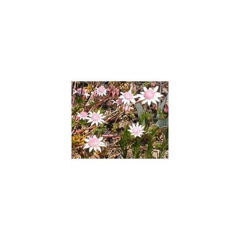Flower Essences of Australia Pink Flannel Flower 25ml