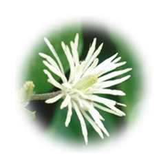 Clematis - Transforming ideas into reality - 20ml